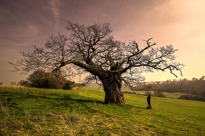 An oka tree in Lullingstone